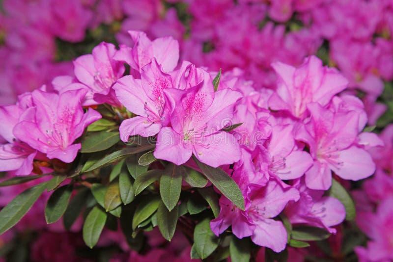 Bloeiende azalea's stock afbeelding