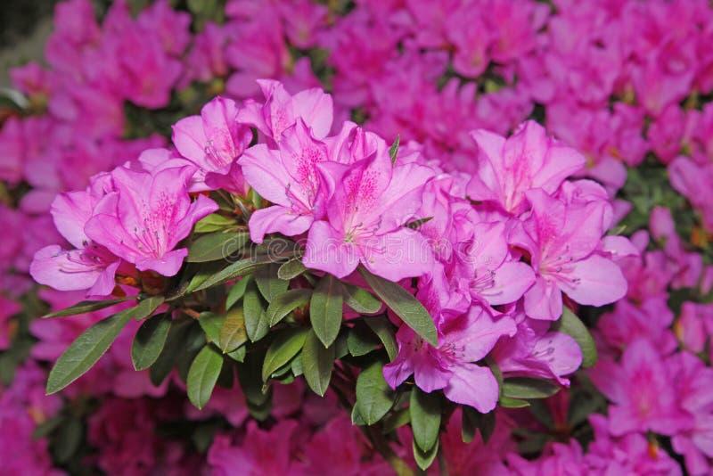 Bloeiende azalea's royalty-vrije stock afbeeldingen