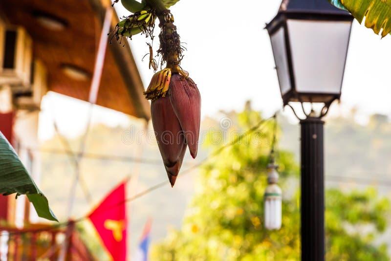 Bloeiende banaan, Luang Prabang, Laos Close-up royalty-vrije stock afbeelding