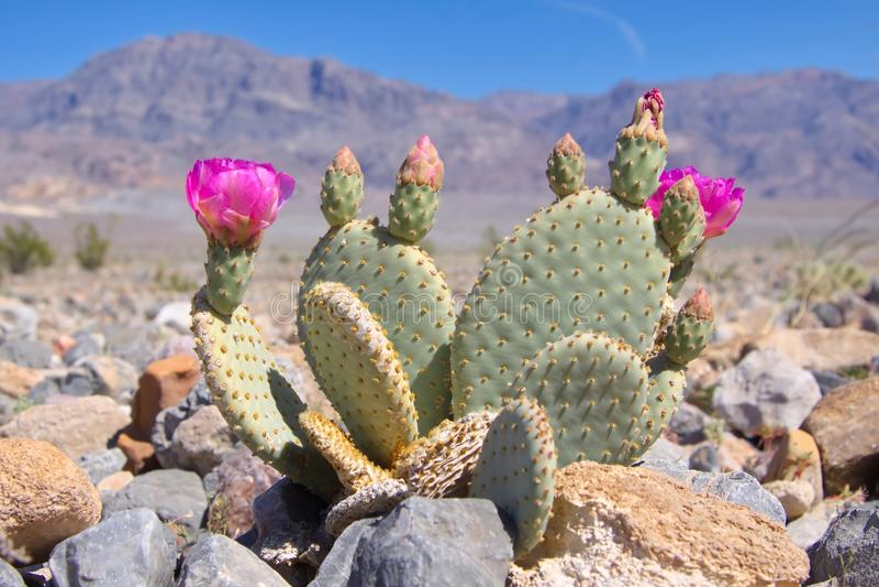 Bloeiende Beavertail-Cactus in Doodsvallei royalty-vrije stock foto's