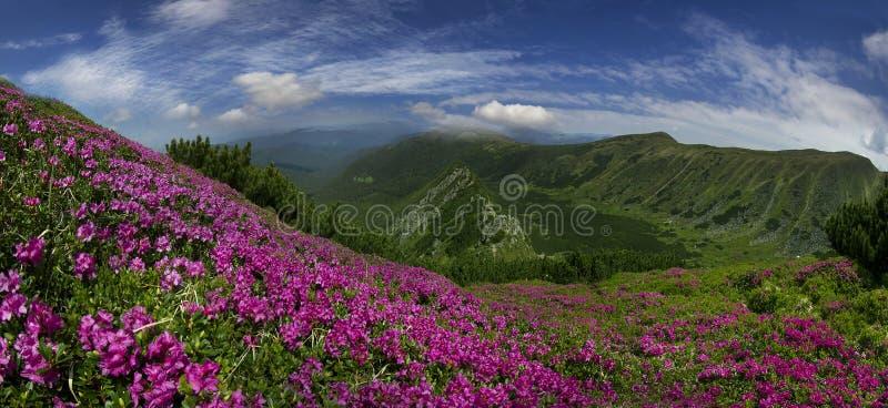 Bloeiende bergen van de Oekraïne stock afbeeldingen