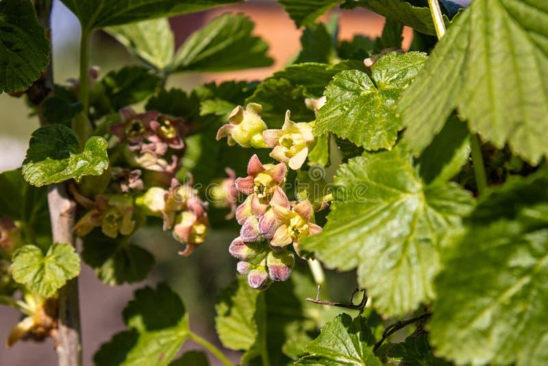 Bloeiende bessen Besstruik met groene bladeren en kleine gevoelige bloemen stock fotografie