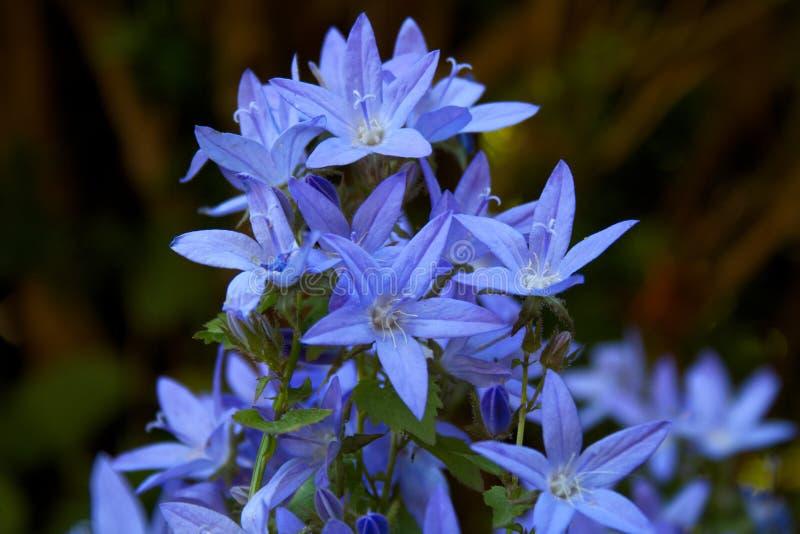 Bloeiende blauwe Adriatic bellflower in de zomer royalty-vrije stock afbeelding