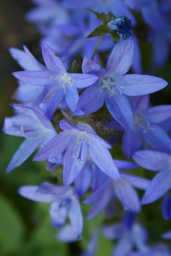 Bloeiende blauwe Adriatic bellflower in de zomer royalty-vrije stock foto's