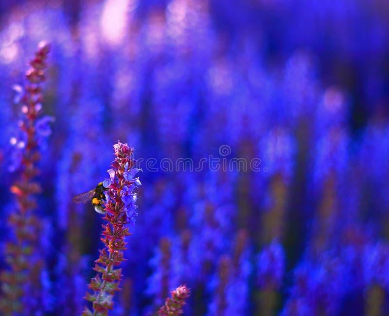 Bloeiende blauwe bossalie stock afbeeldingen