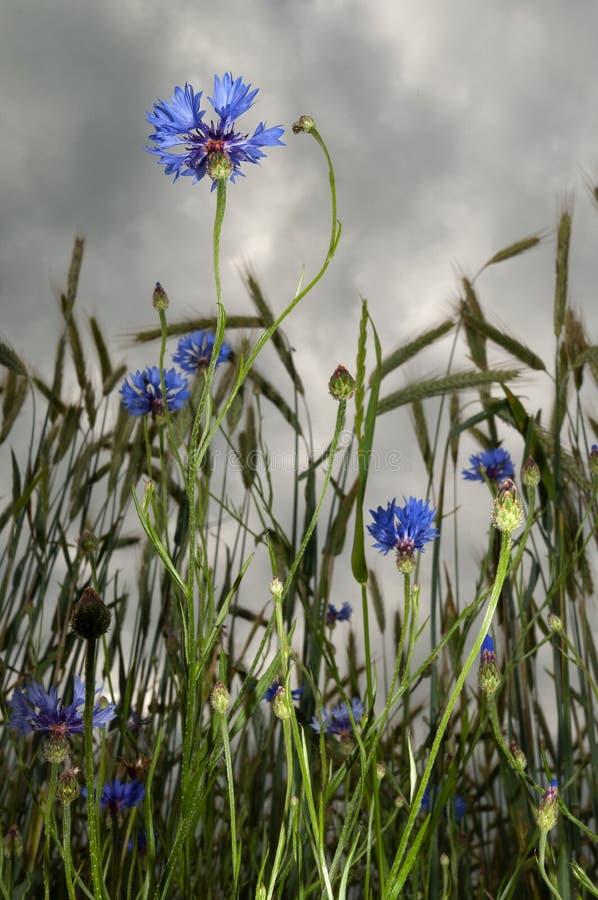 Bloeiende blauwe korenbloemen in grainfield royalty-vrije stock afbeeldingen