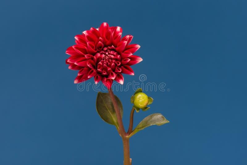 Bloeiende bloem Dalia royalty-vrije stock afbeeldingen