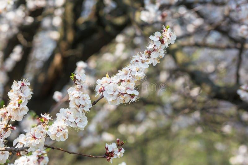Bloeiende bomen in de lente dicht omhoog tegen de blauwe hemel stock afbeelding