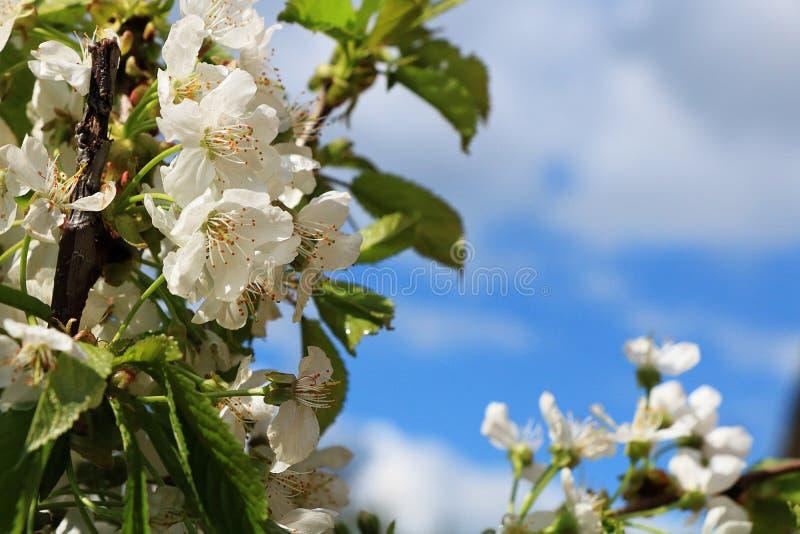 Bloeiende bomen in de lente tegen de blauwe hemel, stock foto