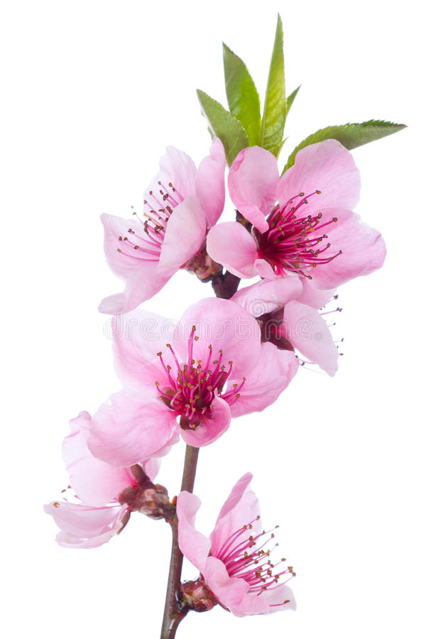 Bloeiende boom in de lente met roze bloemen royalty-vrije stock afbeeldingen