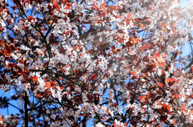 Download Bloeiende Boom In Het Zonlicht Stock Afbeelding - Afbeelding bestaande uit hemel, naughty: 114226429