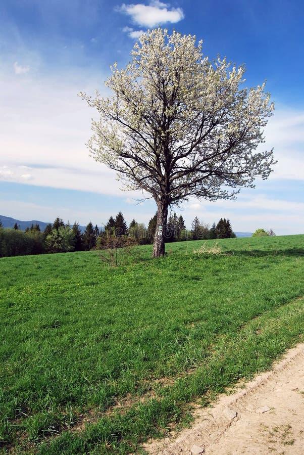 bloeiende boom op weide met wandeling en het cirkelen sleeptekens royalty-vrije stock fotografie