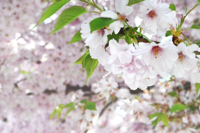 Bloeiende boom Sakura royalty-vrije stock afbeelding