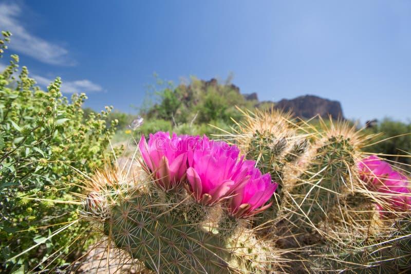 Bloeiende cactusbloemen stock afbeeldingen