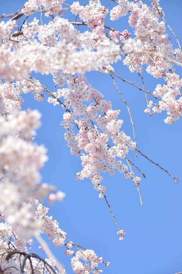 Bloeiende Cherry Blossom-tak voor blauwe hemel royalty-vrije stock afbeeldingen