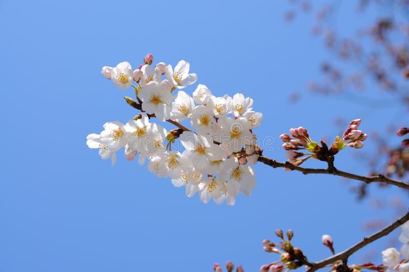 Bloeiende Cherry Blossom-tak voor blauwe hemel stock afbeeldingen
