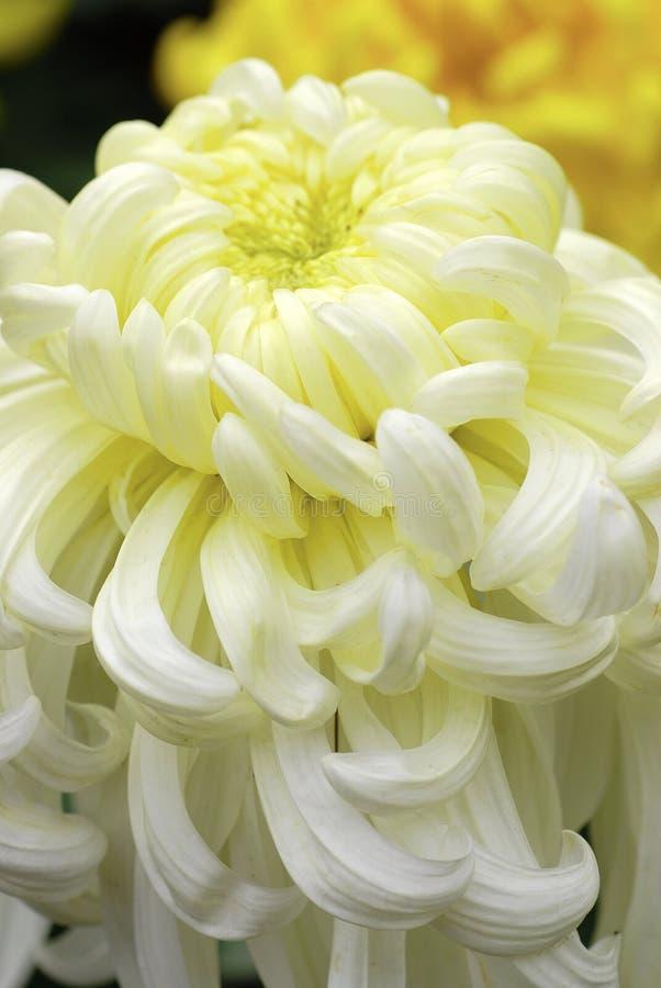 bloeiende Chinese chrysant stock foto