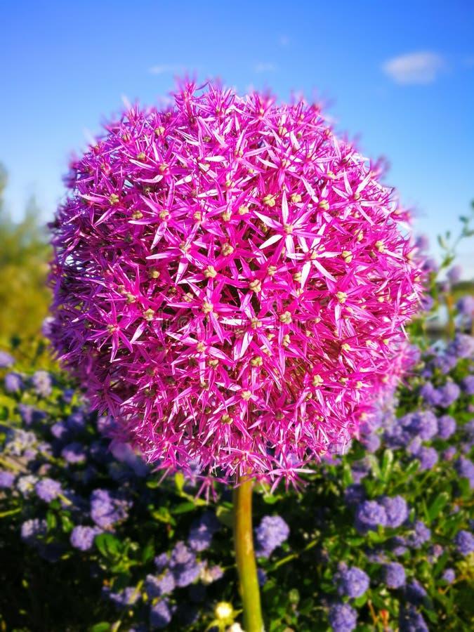 Bloeiende close-up van de de lente de Purpere bloem met blauwe hemel stock fotografie