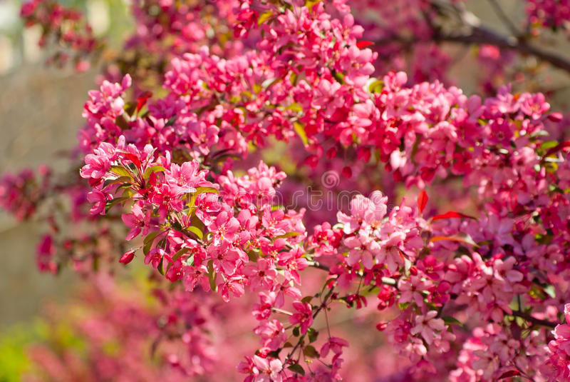 Bloeiende de appelboom van royaltymalus stock foto's