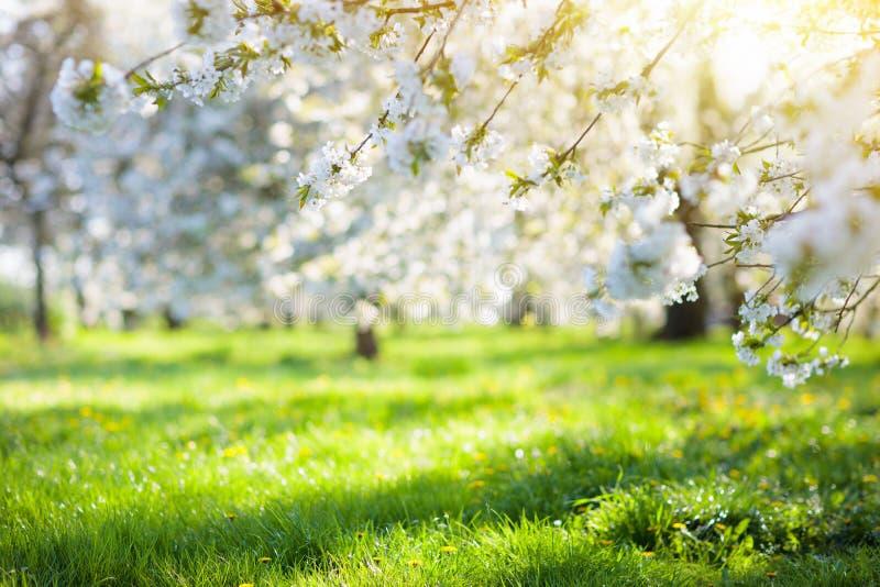 Bloeiende de boomtuin van de kersenbloesem in de lente stock fotografie