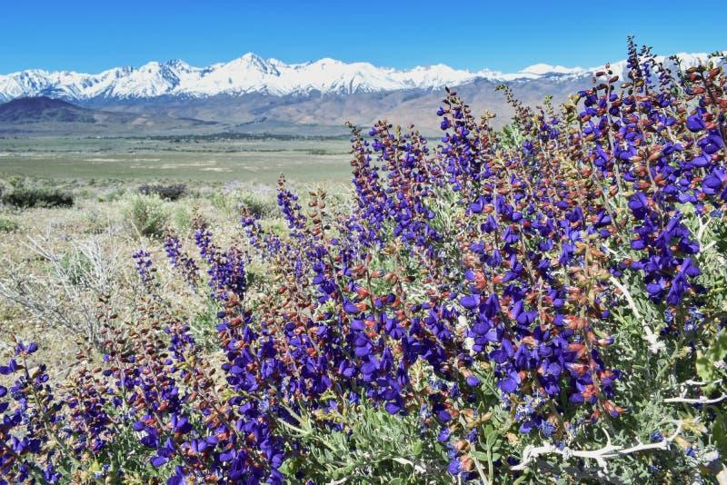 Bloeiende de lentebloemen, mening over Sierra Nevada -bergen en Mount Whitney, Californië, de V.S. stock fotografie