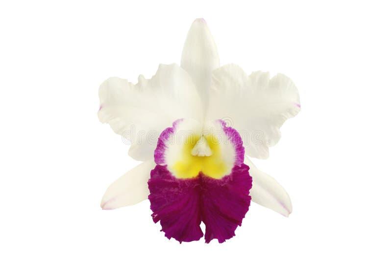 Bloeiende die Cattleya-Orchideebloem op Witte Achtergrond wordt geïsoleerd stock foto