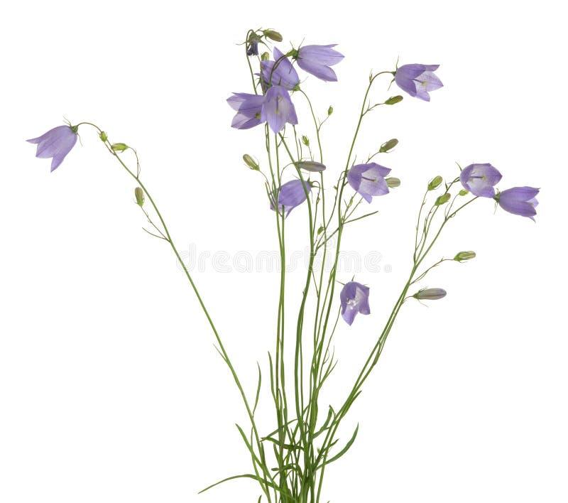 Bloeiende die grasklokjes, Klokjerotundifolia op witte achtergrond wordt geïsoleerd stock foto