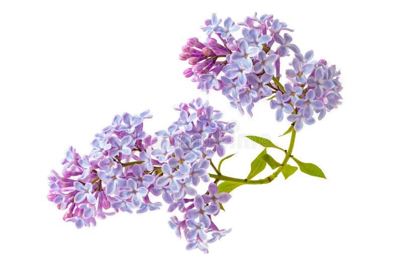 Bloeiende die lilac bloemen op witte achtergrond worden geïsoleerd stock afbeeldingen