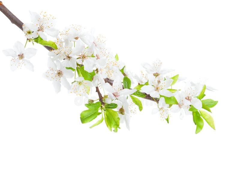 Bloeiende die tak van de Apple-boom op witte achtergrond wordt geïsoleerd stock afbeeldingen