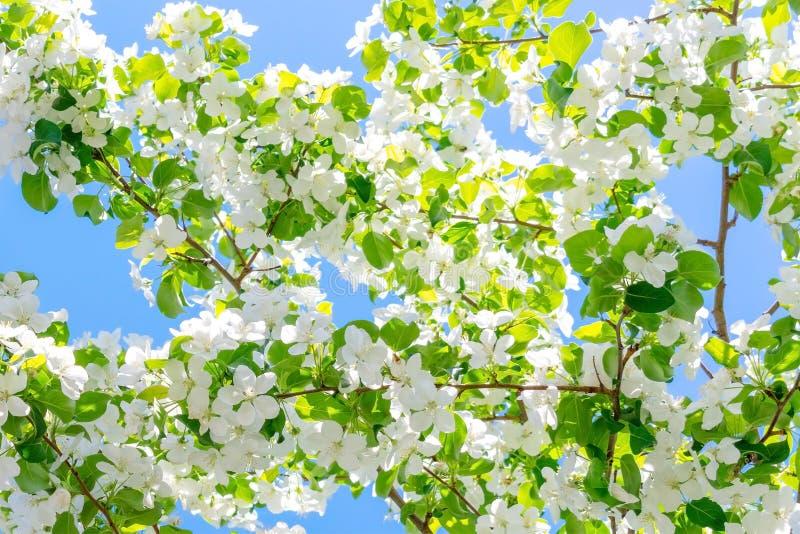 Bloeiende die takken van Apple-bomen door de zon tegen de blauwe hemel worden verlicht royalty-vrije stock foto