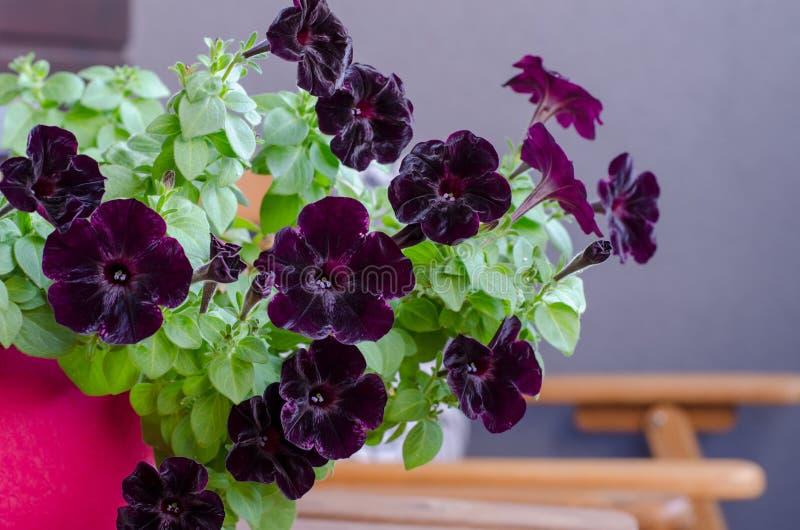 Bloeiende donkere petuniabloem met groene bladeren op het balkon royalty-vrije stock foto's