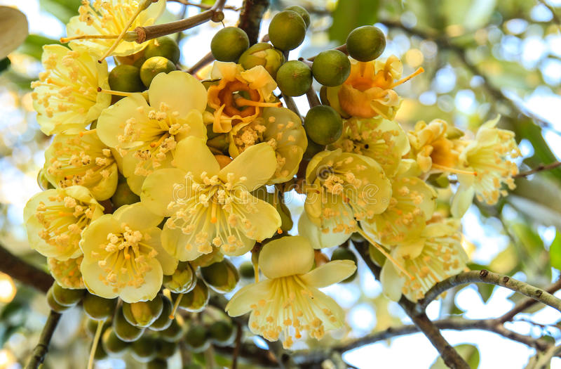 Bloeiende durian bloemen royalty-vrije stock afbeelding