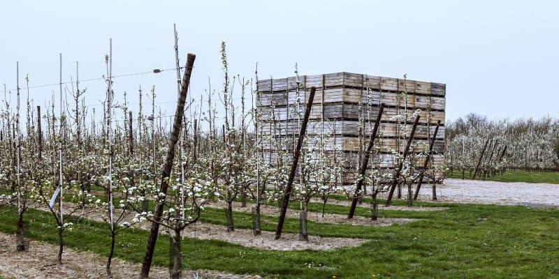 Bloeiende fruitbomen in de lente in de commerciële boomgaard royalty-vrije stock afbeelding