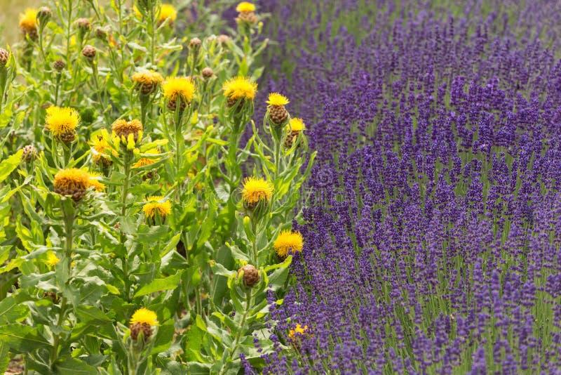 Bloeiende gebieden van lavendel en overladen distel stock afbeelding