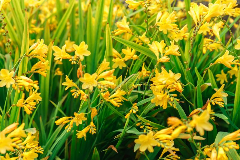 Bloeiende gele daylilies, Hemerocallis, in de de zomertuin, selectieve nadruk royalty-vrije stock foto