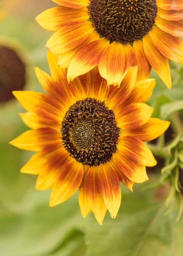 Bloeiende gele en oranje zonnebloemen in de herfst royalty-vrije stock foto's