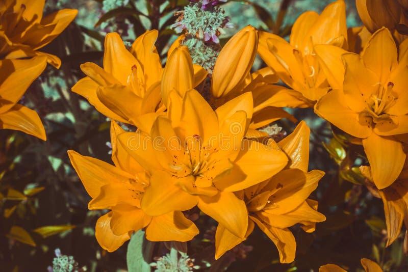 bloeiende gele Leliebloemen in de tuin stock foto