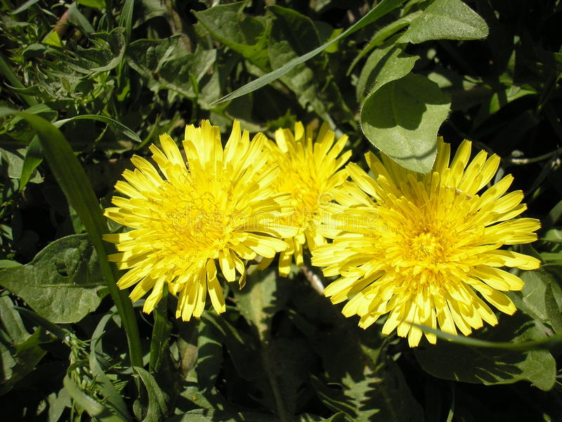 Bloeiende gele paardebloembloemen Taraxacum officinale in de tuin in de lente Eeuwigdurende kruidachtige installatie stock afbeelding