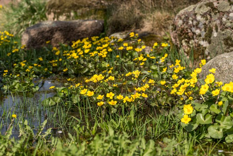 Bloeiende gele speenkruidbloemen Ook genoemd geworden speenkruid of Ficaria-verna stock fotografie