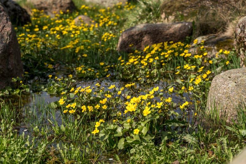 Bloeiende gele speenkruidbloemen Ook genoemd geworden speenkruid of Ficaria-verna stock afbeelding