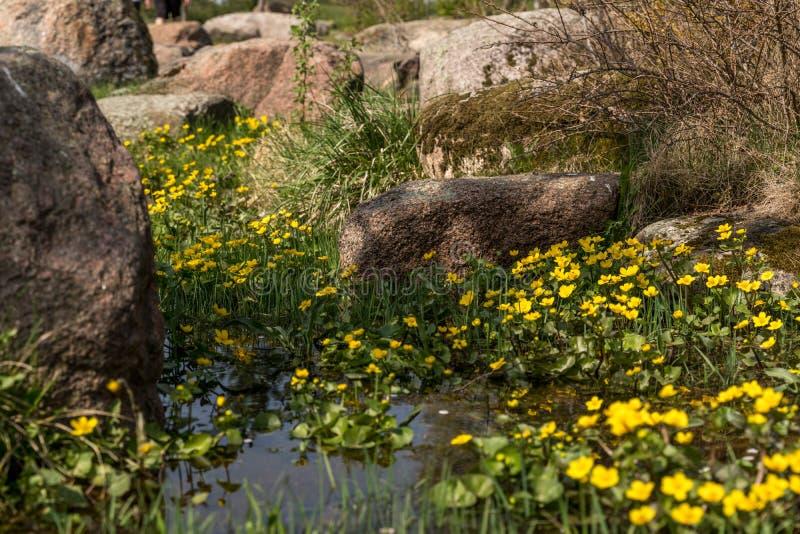 Bloeiende gele speenkruidbloemen Ook genoemd geworden speenkruid of Ficaria-verna stock afbeeldingen