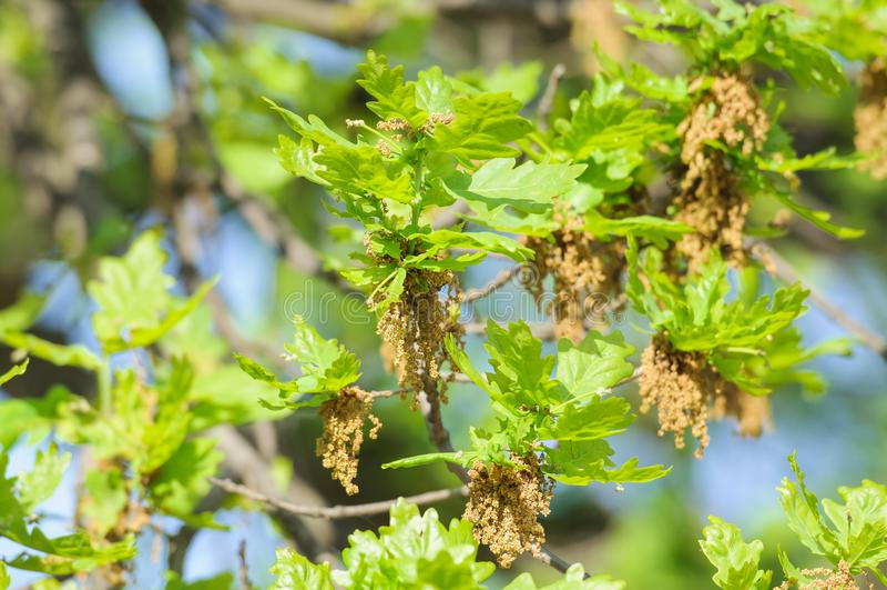 Bloeiende gemeenschappelijke eik of pedunculate eiken Quercus robur royalty-vrije stock fotografie