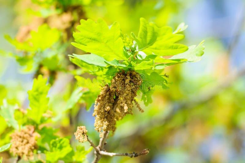 Bloeiende gemeenschappelijke eik of pedunculate eiken Quercus robur stock afbeelding