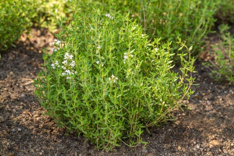 Bloeiende Gemeenschappelijke Thyme stock afbeelding