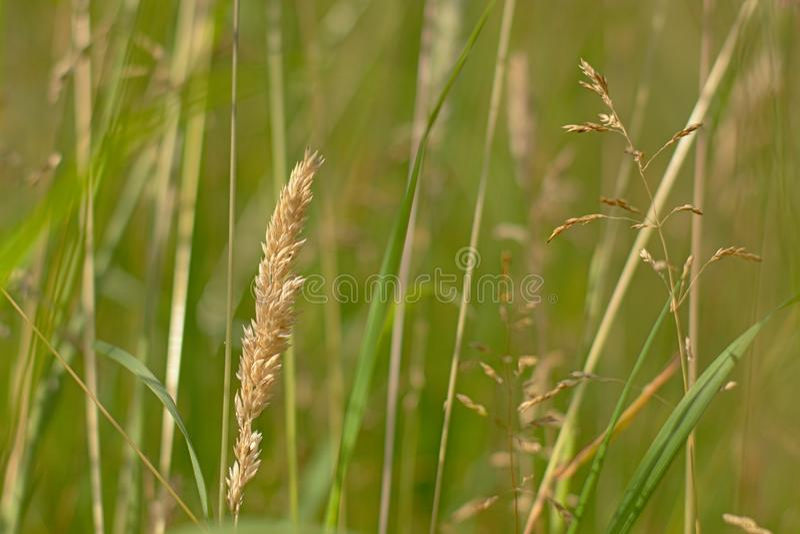 Bloeiende het close-upprairie van de grashalm, poaceae stock foto's