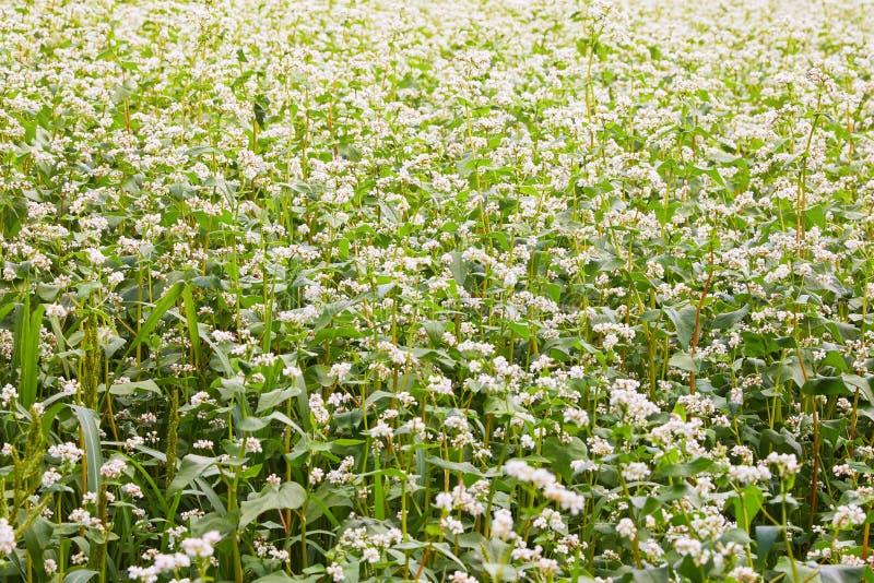 Bloeiende het groeien boekweitinstallatie op landbouwgebied stock foto's