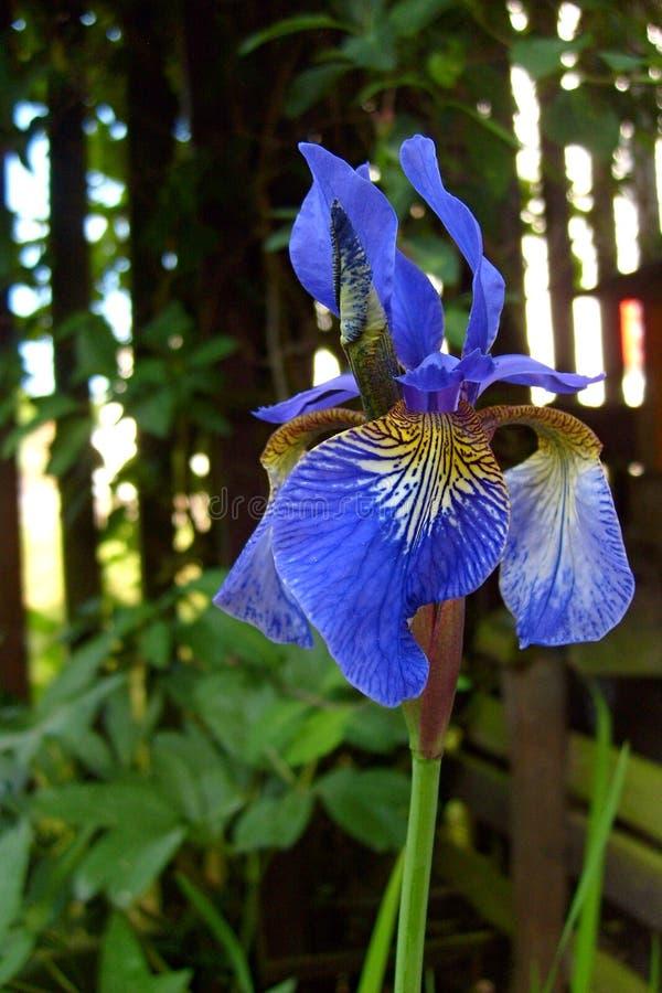 Bloeiende iris stock fotografie