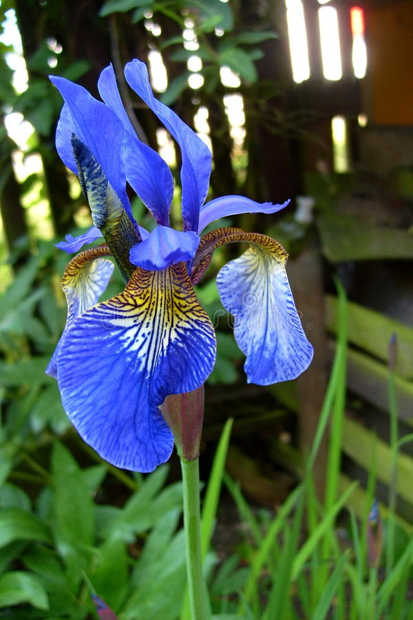Bloeiende iris stock afbeelding