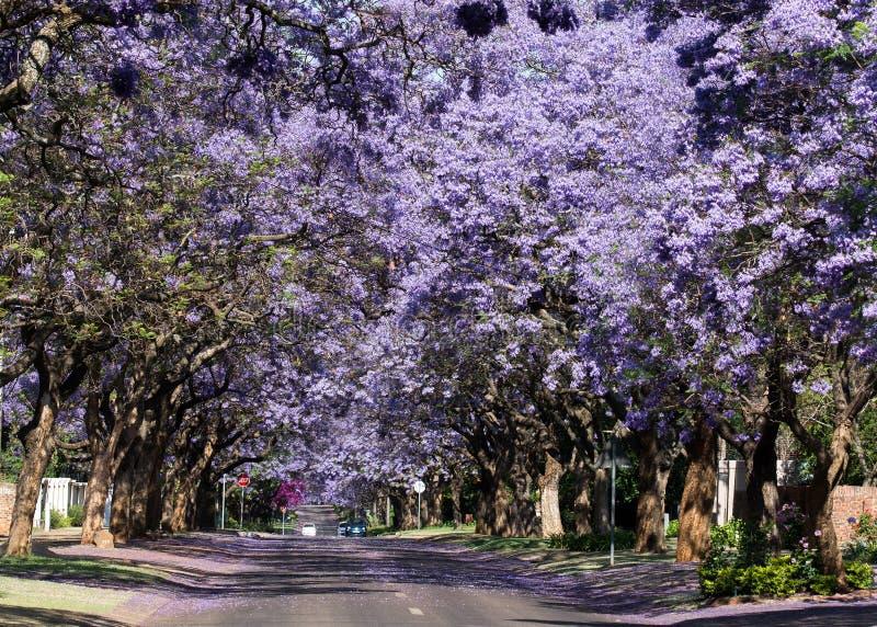 Bloeiende Jacaranda-bomen stock foto's