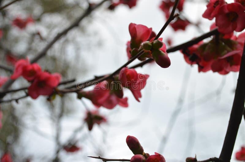 Bloeiende Japanse Kweepeer stock fotografie